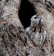 Petit-duc maculé / Eastern Screech Owl (Robert Dupont) Tags: oiseau bird hibou nature robertdupont wildlifephotography montréal petitducmaculé easternscreechowl parcangrignon