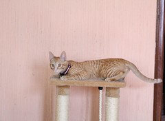 Napoleón (jorluis3098) Tags: cat little pink pose domestic photography photo animal can canon camera