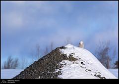 harfang des neiges (Sébastien Dionne photographe) Tags: harfang harfangdesneiges oiseau oiseaux bird birds canon cacouna canon5dmarkiv canon5dmkiv 5dmarkiv 5dmkiv sigma sigma150600 150600mm 150600 sigma150600dgoshsmsport sigma150600s