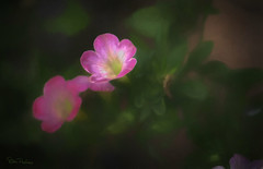 pink trailing flower (DorisPac) Tags: flower plant pink nature fauxpainting digitalpainting topazstudio topazimpression soft calming