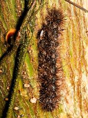 Schmetterlingsraupe (Eerika Schulz) Tags: schmetterlingsraupe raupe caterpillar ecuador puyo eerika schulz