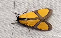 Tiger moth, Ormetica ameoides (Ecuador Megadiverso) Tags: andreaskay arctiidae arctiinae ecuador erebidae moth ormeticaameoides tigermoth wildsumaco