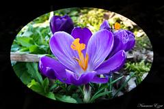 Crocus   (8) (Ezzo33) Tags: nammour ezzat ezzo33 france aquitaine 33 bordeaux ville parcfloral réservedesbarails crocus violet bleu rayé