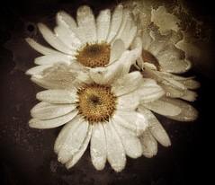 Cuando muera, si me dan a llevar flores que sean margaritas, con mucho hielo. No pienso ser un alma en pena, voy a ser el alma de la fiesta. (elena m.d.) Tags: arte texturas nikon d5600 sigma sigma105 nature naturaleza flower