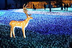 Bright deer setting on the light field (Teruhide Tomori) Tags: night light nara japan japon narapark 奈良 イルミネーション ライト 夜 夜景 日本 なら瑠璃絵 奈良公園