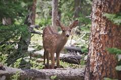 First Encounter (michael.veltman) Tags: rmnp rockies rocky mountain national park backpacking loop deer fawn