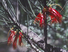 Calothamnus gilesii, Kings Park, Perth, WA, 21/12/94 (Russell Cumming) Tags: plant calothamnus calothamnusgilesii myrtaceae kingspark perth westernaustralia