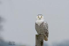 Snowy Owl (Jamie Lenh Photography) Tags: nature wildlife birds owls snowyowl nikon tamron ontario southern jamielenh
