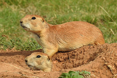 Quitaque - Is It Dangerous Out There ? (Drriss & Marrionn) Tags: quitaque texas usa nationalpark park sky caprockcanyons red mountainousterrain hills animals animal mammal mammals blacktailedprairiedog cynomysludovicianus sciuridae rodentia taxonomy:binomial=cynomysludovicianus taxonomy:subgenus=cynomys taxonomy:genus=cynomys taxonomy:species=ludovicianus taxonomy:subtribe=spermophilina taxonomy:tribe=marmotini taxonomy:subfamily=sciurinae taxonomy:family=sciuridae taxonomy:infraorder=sciurida taxonomy:suborder=sciuromorpha taxonomy:order=rodentia taxonomy:mirorder=simplicidentata taxonomy:superorder=glires taxonomy:grandorder=euarchontoglires taxonomy:magnorder=boreoeutheria taxonomy:cohort=placentalia taxonomy:infraclass=eutheria taxonomy:subclass=boreosphenida taxonomy:class=mammalia taxonomy:superclass=gnathostomata taxonomy:subphylum=vertebrata taxonomy:phylum=chordata mammalia grass field placentalia vertebrata dnysmphotography
