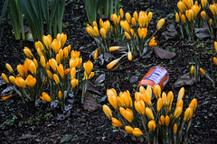 a bru among the crocuses (46/365) (werewegian) Tags: irnbru can ginger crocus spring flower blythswood square werewegian feb19 glasgow 365the2019edition 3652019 day46365 15feb19