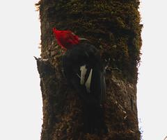 Magellan Woodpecker (M) (Campephilus magellanicus) climbing (GH Rancher) Tags: campephilusmagellanicus magellanicwoodpecker
