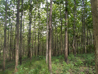 Young teak forest - Nature