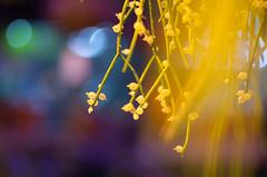 Brightness (Tashata) Tags: rhipsalis macro nature plant bright beautiful botanical bokeh yellow dof deepblue rhipsalisbaccifera blooming blossom beauty composition pentax pentaxk01 smcpentaxdfamacro100mmf28wr