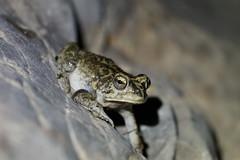 Sclerophrys arabica (xav.heckmann) Tags: crapaud toad arabiantoad mibam mibamwaterfall علجومعربي waditiwi wadi bufonidae sclerophrys ilce7 sel90m28g oman