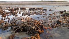 Lettuce coral (Pavona sp.) (wildsingapore) Tags: pulau semakau pavona cnidaria agariciidae scleractinia shore singapore marine intertidal seashore marinelife nature wildlife underwater wildsingapore east