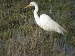 Great Egret in palustrine wetland (stonebird) Tags: greategret ardeaalba ballonawetlandsecologicalreserve areab february palustrinewetland img9064