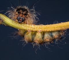 Caterpillar. Sydney. (Geoff Hyde) Tags: caterpillar insect randwick