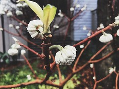 364/365 (moke076) Tags: 2018 365 project 365project project365 oneaday photoaday mobile cell cellphone iphone flowers blooming wet rain drops atlanta ga winter dog nature plant bush edgeworthia chrysantha paper daphne umbrellashaped paperbush