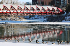 A walk downtown Calgary on a sunny December day 2018 (davebloggs007) Tags: down town calgary december 2018 peace bridge bow river canadian geese
