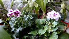 Pelargoniums flowering in kitchen 20th March 2019 (D@viD_2.011) Tags: pelargoniums flowering kitchen 20th march 2019