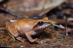 Pseudophilautus sp.? (Fernando_Iglesias) Tags: pseudophilautus toads amphibians