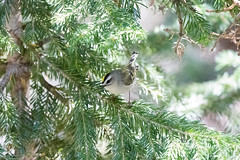 Golden-crowned Kinglet. USA Sept 2017-00687 (Peter-D-Smith) Tags: canonef100400mmf4556lisusm canoneos5dmkiii colorado glaciergorgejunction glaciergorgejunctiontrailhead glaciergorgeandthelochtrails goldencrownedkinglet regulussatrapa rockymountainnationalpark september2017 usa