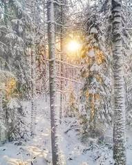 """Talvinen metsä.""""Vaiti metsä on, alla jään kaikki elämä makaa, koski kuohuvi yksinään, humuten metsän takaa."""" 🎶🎶🎶. Tonttu, laulu. (Pinelope) Tags: sunaurinkowintertalvimetsäforestfinland finland winterbeauty"""