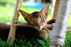 Oh hi! (tjh81) Tags: cat abyssinian portrait summer green grass outdoors yard kitten bokeh eyes ears