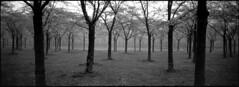 Early Morning, Blossoming (selyfriday) Tags: selyfriday wwwnassiocomempty nassiocom 35mm analogue film panorama minolta riva minoltarivapanorama koda k kodaktmax400 400iso rodinal 125 20˙c 7minutes nederland netherlands holland dutch blossoms amsterdamsebos