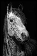 Luna (Eva Haertel) Tags: eva haertel 5dmarkiii natur nature tier animal pferd hors luna portrait schwarzweis blackandwhite sw bw