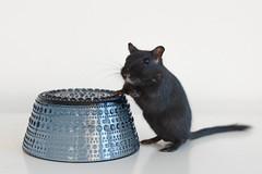 Posing (Heidi H. Alakoski) Tags: gerbil sony sonya77 alpha animal pet white sigma pets black animals gerbiili