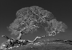 Fallen but Still Growing (Revised) (allentimothy1947) Tags: bw califonia colemanvalleyrd sonomacounty blackandwhite coastalmountains hill land moody oak plant rock tree