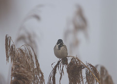 Reed Bunting in the Morning Mist (wayne.withers1970) Tags: small pretty bird wings color colorful nature natural colour colourful wild wildlife england spring winter flickr dof bokeh naturephotography country countryside outside outdoors alive fauna flora canon sigma light blur black white brown lake river feathers water fine dark animal plant vegetation rspb somerset reeds mist soft bunting