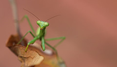 Praying Mantis (dianne_stankiewicz) Tags: mantid insect green wildlife nature prayingmantis suspended coth coth5 ngc