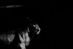 Shadow king (Steffen Kamprath) Tags: amount apsc allemagne animal attraction bw berlin blackwhite crop dslr day detail deutschland documentary europa europe fragment germany hardcontrast landmark light minimal monochrome nature nopeople outside primelens slt sight sonya77 spot sunny tamron tamron7020028 tamronspaf70200mm28diusd tourism travel traveldestination travelphotography vacation natural