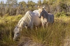 Jument et son poulain (Xtian du Gard) Tags: xtiandugard chevaux jument poulain camargue provence france