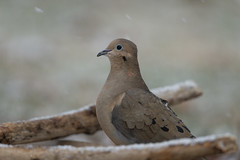 Dove-40844.jpg (Mully410 * Images) Tags: birdwatching spring winter backyard bird birds snow birding mourningdove dove birder snowing