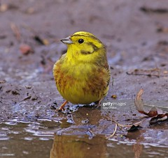 Yellowhammer (Gary Chalker, Thanks for over 4,000,000. views) Tags: bird yellowhammer finch pentax pentaxk3ii k3ii pentaxfa600mmf4edif fa600mmf4edif fa600mm 600mm