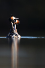 Great crested grebes (Mike Mckenzie8) Tags: podiceps cristatus wild wildlife bird lake sunrise reflection calm serene