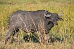 Kaffernbüffel / Cape Buffalo (brainstorm1984) Tags: africanbuffalo big5 bigfive botswana buffalo büffel campmoremi capebuffalos desertdeltasafaris elangeniafricanadventures gamedrive kaffernbüffel moremigamereserve moremiwildreservat okavangodelta safari schwarzbüffel steppenbüffel synceruscaffer wildlife
