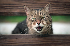 Hear me Roar (ChristianKphoto) Tags: 70mm tamron2470f28 tamron2470 tamrom canon6d 6d canon whiskers teeth domesticus felis feline meow roar pet pets animals cats cat