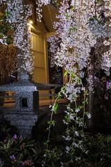 Sakura flower display (.John Wong) Tags: sakura flower garden by bay singapore