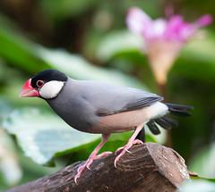 Rijstvogel (Borreltje.com) Tags: kleincostarica costarica tropical tropics someren nature wildlife nikon animalphotography
