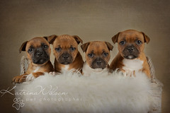 Katrina Wilson - Dog Photography Bedfordshire-11 (KatrinaW Photography) Tags: sbt staffie staffy bullterrier puppies puppy studio stafford staffordshire bull terrier litter