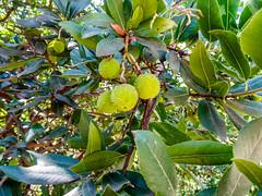 fruto jardin del parque Campo del Moro Madrid (Rafael Gomez - http://micamara.es) Tags: campodelmoro esp españa madrid fruto jardin del parque campo moro