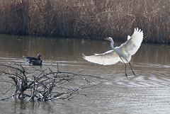 Sonne im Flügel (Corinna John) Tags: vogel bird tier animal ardeaalba silberreiher casmerodiusalbus egrettaalba