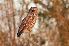 Great Gray Owl (bearbear leggo) Tags: sunset greatgrayowl gorgeous goldenlight owl ontario canon markii majestic northern nature naturephotography karenleggo kingston outdoors feathers forest bird branch