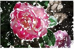 Die Fröhlichkeit der Erden (amras_de) Tags: rose rosen ruža rosa ruže rozo roos arrosa ruusut rós rózsa rože rozes rozen roser róza trandafir vrtnica rossläktet gül blüte blume flor cvijet kvet blomst flower floro õis lore kukka fleur bláth virág blóm fiore flos žiedas zieds bloem blome kwiat floare ciuri flouer cvet blomma çiçek zeichnung dibuix kresba tegning drawing desegnajo dibujo piirustus dessin crtež rajz teikning disegno adumbratio zimejums tekening tegnekunst rysunek desenho desen risba teckning çizim