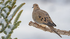 Mourning Dove (Zenaida macroura) (ER Post) Tags: bird dove mourningdovezenaidamacroura jenison michigan unitedstatesofamerica us