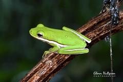Green Tree Frog (Glenn Hultgren) Tags: glennhultgrenphoto frog frogs treefrog greentreefrog wildlife amphibian amphibians nature
